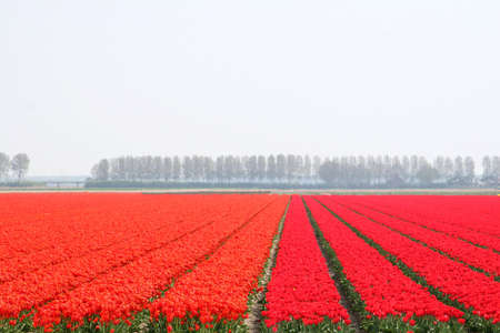 poplars: Polder landscape in orange and red with poplars in Holland