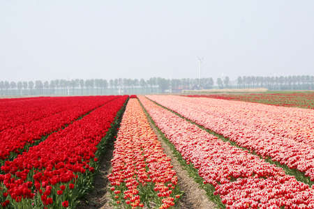 Special polder landscape in red and red-white with poplars in Holland