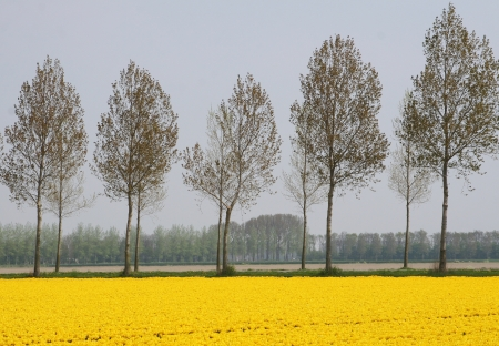Polder landscape in yellow with poplars in Holland