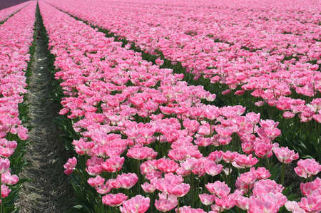 Structure of a pink tulip field