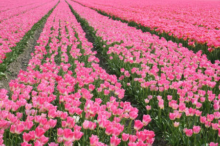 Patterns of pink tulips until the horizon photo