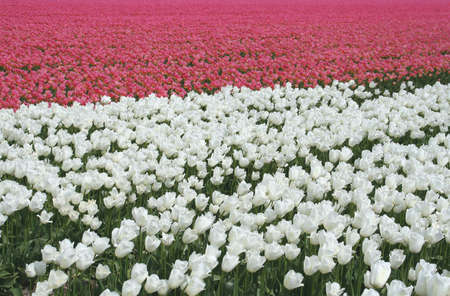 White and pink tulips Stock Photo - 14031857