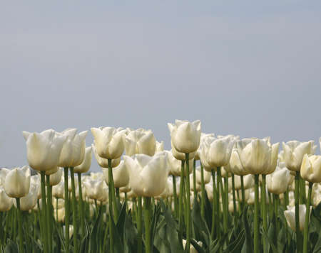 Serene white tulips against the sky