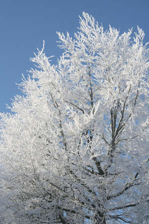 A frosted tree against a blue sky Stock Photo - 14031871