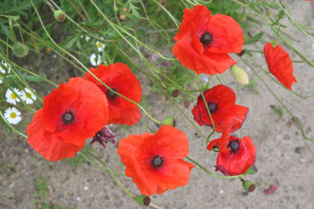Poppies as wildflowers in the field