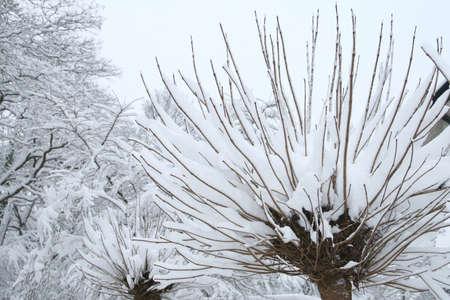 catalpa: Catalpa bignonioides  trumpet tree  in the snow Stock Photo