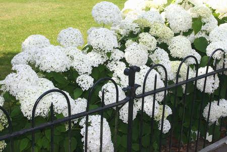 Garden with Hydrangea Annabelle