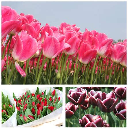 Tulips from Amsterdam Holland Stock Photo - 15029355