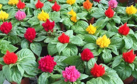 celosia: Colorful Celosia in the Garden center Stock Photo