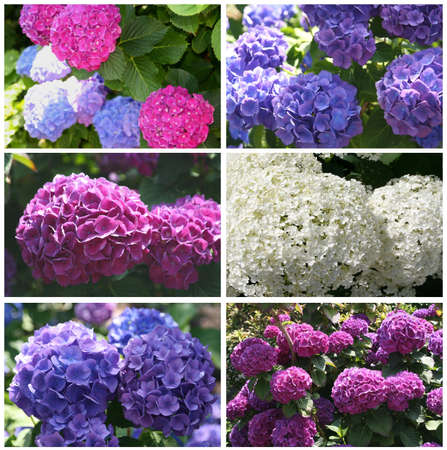 Composition of Hydrangea flowers