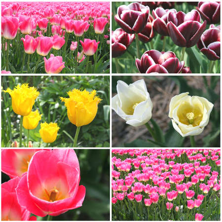 Collage of blooming tulips Stock Photo - 15615555