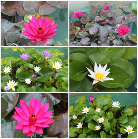 Collage of blooming lotus flowers