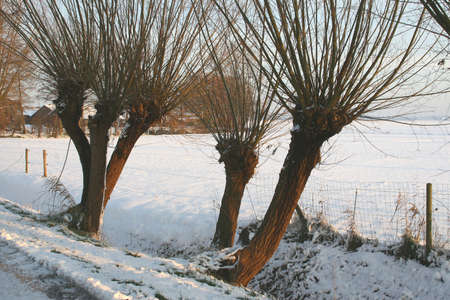 salix alba: Structure of Willows in fields of snow