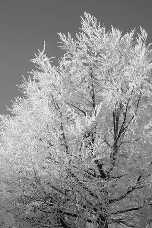 beech tree: Frozen beech tree in winter in black and white Stock Photo