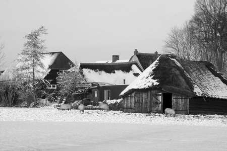 eempolder: Sheepfold in Holland in the snow black and white