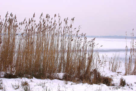 plassen: Cane plumes along a frozen lake in Holland Stock Photo