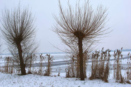 plassen: Pollard willows along a frozen lake in Loosdrecht Holland