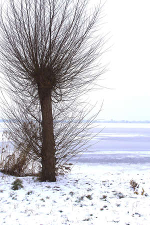 Pollard willow along a frozen lake in Loosdrecht  photo