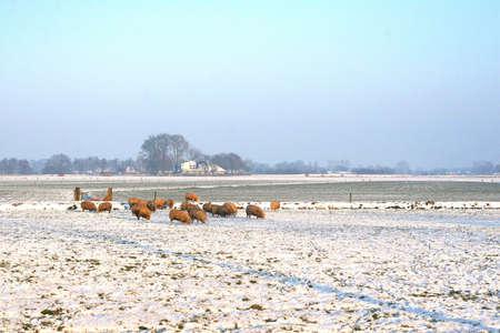 Sheep flock in a Dutch polder in winter photo