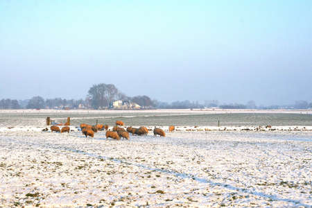 polder: Sheep flock in a Dutch polder in winter Stock Photo