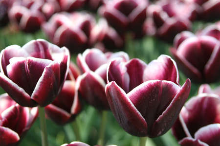 Purple tulips from Amsterdam photo