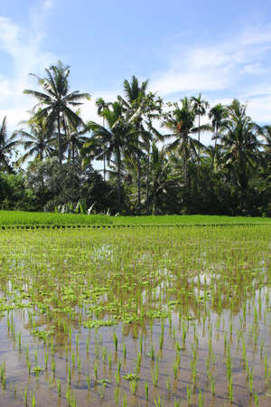 refelction: Rice fields and refelction of palm trees