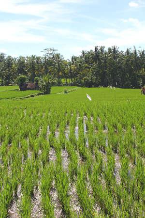 ubud: Rice fields in Ubud Bali