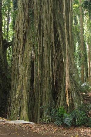 banyan: Santa �rbol de higuera en Bali Foto de archivo