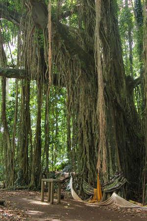banyan: Santa ?rbol de higuera en Bali Foto de archivo
