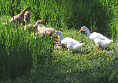 White and brown gooses in the rice fields at Bali photo