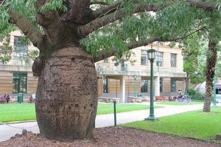 digitata: Baobab Bottle Tree near Brisbane Anzac Monument in Brisbane Editorial