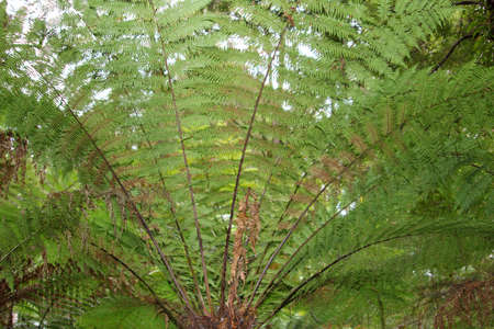 polypodiopsida: Fern tree in close-up