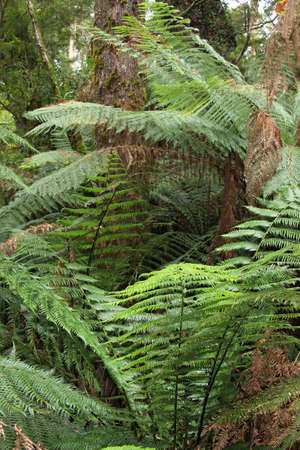 polypodiopsida: Fern trees in the forest