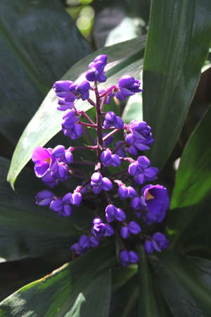 ginger flower plant: Blooming flower of the ginger plant