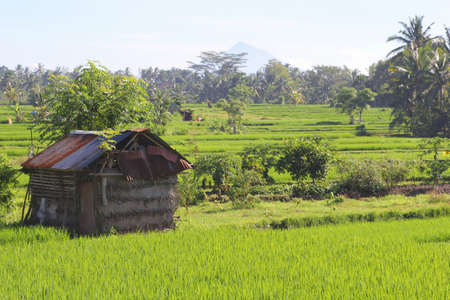 ruinous: Ruinous hut in the rice fields at Bali