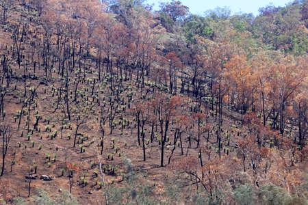 forest fire: Los eucaliptos con troncos negros despu?s del incendio forestal en Australia