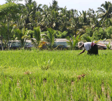 Man is working in the rice fields on 14 march 2013 in Ubud Bali