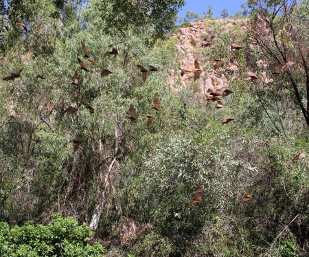 katherine: Flying brown bats chiroptera in the Katherine Gorge in Nortern Territory of Australia Stock Photo