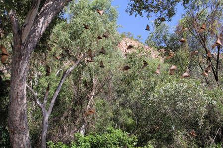 katherine: Big flying brown  bats in the Katherine Gorge in Northern territory of Australia
