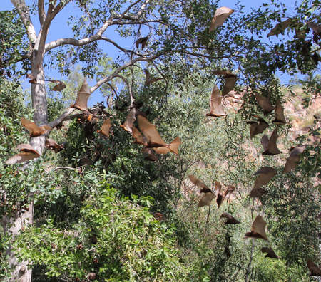 katherine: Big flying bats in the Katherine Gorge in Northern territory of Australia