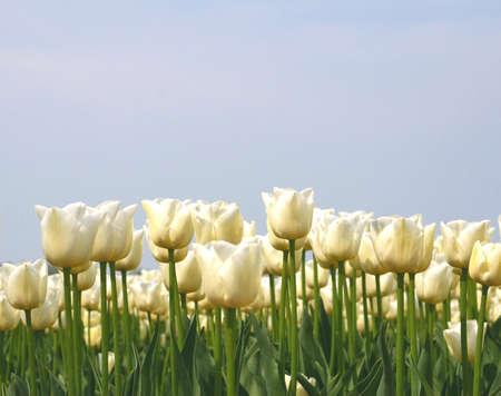 White tulips against a blue sky in the flower strip around Amsterdam Ne Stock Photo - 20407624