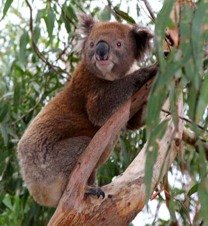 permanence: A koala in a gum tree in Australia