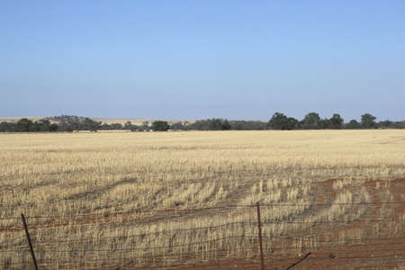 grain fields: Background landscape with grain fields for the export in South Australia north of Adelaide  Stock Photo