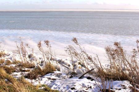 markermeer: Reed plumes in the snow along a frozen big lake IJsselmeer in the Netherlands