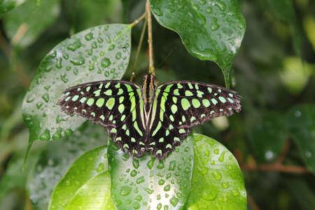 green jay: Atada de Jay mariposa en una hoja verde Foto de archivo
