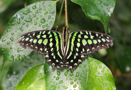 Tailed Jay butterfly on a green leaf in close up Stock Photo - 22706328
