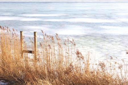 cane plumes: Wicker plumes along a frozen big lake IJsselmeer in the Netherlands