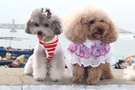 Two poodle dogs are holding a fashion show along the harbour Stock Photo