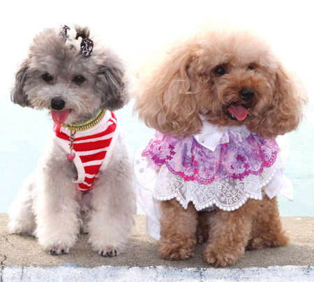 Two poodle dogs are holding a fashion show, isolated on white