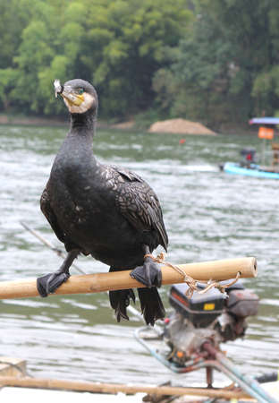 Cormorant near the river in close up; cormorants are used for cathing fish in the rivers in China photo